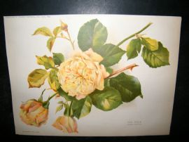 Amateur Gardening 1892 Antique Botanical Print. Tea Rose